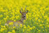 European Roebuck in Canola Field, Hesse, Germany Photographic Print by Michael Breuer