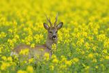 European Roebuck in Canola Field, Hesse, Germany Photographic Print by Michael Breuer