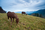 Two Draft Horses Feeding in Front of Bavarian Alps Fotografiskt tryck av Olaf Broders