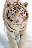 Picture by Tambako the Jaguar - Bílý tygr Fotografická reprodukce