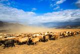 Seasonal Livestock Migration, Xinjiang China Photographic Print by Feng Wei Photography