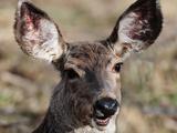 Mule Deer Photographic Print by Yu Liu Photography