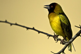 Black Headed Weaver. Photographic Print by Manoj Shah