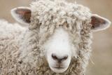 Canada, British Columbia, Fort Steele, Close-Up of a Sheep Reprodukcja zdjęcia autor Don Paulson Photography