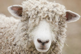 Canada, British Columbia, Fort Steele, Close-Up of a Sheep Impressão fotográfica por Don Paulson Photography