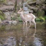Deer in Nara Park Photographic Print by KanekoDaiDesignOffice Caramel