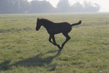 Foal Galloping in Field Photographic Print by Frans Lemmens