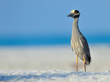 Yellow Crowned Night Heron Photographic Print by photo by Dennis Hayes Derby Jr.
