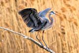 Blue Heron Photographic Print by Vladimir Naumoff