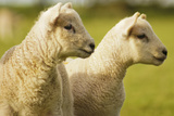 Lambs Photographic Print by Ginny Battson