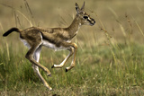 Thomson'sgazelle Fawn. Photographic Print by Manoj Shah