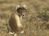 Female Arctic Fox Photographic Print by Image by David G Hemmings