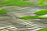 Rice Field Photographic Print