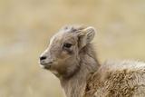 Bighorn Sheep North America Photographic Print by  Mmphotos