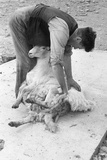 Sheep Shearing Photographic Print by Grace Robertson