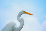 Great White Heron Photographic Print by William Goldsmith