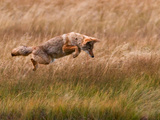 Coyote Leaping - Gibbon Meadows Photographic Print by Photo by DCDavis
