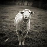 Sheep Chewing Cud Fotografisk tryk af Danielle D. Hughson