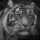Sumatran Tiger Mono Portrait Fotografisk tryk af John Dickson