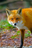 Red Fox Photographic Print by Brian E. Kushner