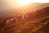 Sheep on Welsh Hillside Backlit by a Setting Sun Photographic Print by Roj Smith