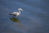 Great Blue Heron Foraging in the Water Photographic Print by  GeoStock