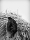 Horse, Close-Up of Ear and Mane Photographic Print by Vilhjalmur Ingi Vilhjalmsson