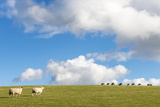 Blackface Sheep Joining Flock on South Downs Photographic Print by James Warwick
