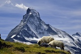 Matterhorn with Sheep from Hohbalmen Photographic Print by pierre hanquin photographie