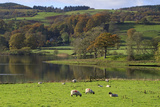 Grazing Sheep, Coniston Water, Cumbria Photographic Print by Louise Heusinkveld