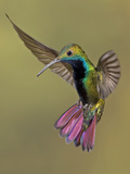 Colorful Humming Bird Photographic Print by Image by David G Hemmings