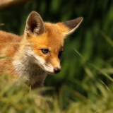 Red Fox Cub in the Grass Photographic Print by Chris Jolley