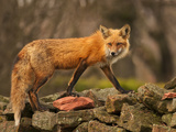 Red Fox on Rock Wall Photographic Print by Photographs By Les Piccolo