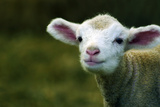 Bleating Lamb Photographic Print by Photo by Alan Shapiro
