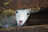 Lam, lichaam van lam met Engelse omschrijving van eetbare gedeelten Fotoprint van Christy Majors