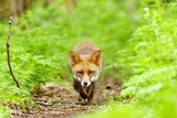 Walking Fox Photographic Print by Gary Chalker