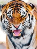 Close up of Tiger Fotografiskt tryck av Picture by Tambako the Jaguar