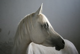 Arabian Horse Photographic Print by Photo by Eman Jamal