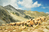 Herd of Sheep in High Mountains Photographic Print by Maya Karkalicheva