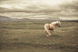 Icelandic Horse Photographic Print by Daniel Shapiro