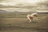 Icelandic Horse Photographic Print by Daniel Shapiro