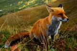 Foxxy Reprodukcja zdjęcia autor Michal Sleczek