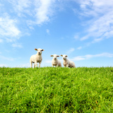 Spring Lambs Photographic Print by  MarcelTB
