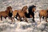 Herd of Wild Horses Running Free in Desert, Nevada, USA Photographic Print by Inga Spence