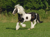 Irish Cob Pony Galloping in Field Photographic Print by Martin Ruegner