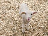 Lam, lichaam van lam met Engelse omschrijving van eetbare gedeelten Fotoprint van Evan Sklar