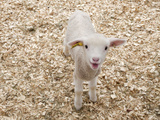 Lamb Photographic Print by Evan Sklar