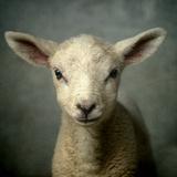 Cute New Born Lamb Fotoprint van bob van den berg photography