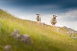 Doubtful Sheep Photographic Print by NitiChuysakul Photography