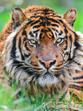Male Sumatran Tiger Photographic Print by Picture by Tambako the Jaguar